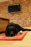Black Labrador laying on a Rug stock images