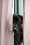 Black Labrador Looking Through Curtains Stock Images