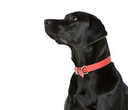 Black Labrador Looking Off Camera Stock Image