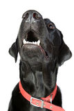 Black Labrador Looking Up Stock Photography