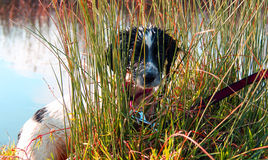 black and white cocker spaniel puppy, hiding in the long grass by a lake Stock Photography