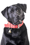 Black Labrador. Black man  Labrabor on white background Stock Photography