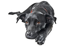 A black labrador mix. Isolated on a white background Stock Images