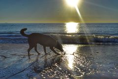 Black Labrador mix playing in the ocean royalty free stock photo