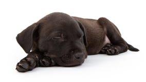Black Labrador Mix Puppy Sleeping Royalty Free Stock Image