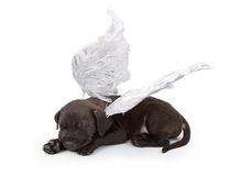 Black Labrador Mix Puppy Wearing Angel Wings. A black Labrador Retriever mix puppy wearing angel wings isolated on white Royalty Free Stock Photography