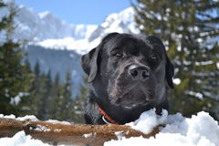 Black labrador on the mountain Royalty Free Stock Image