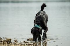 A black labrador outside by the water royalty free stock images