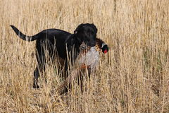 Black Labrador with a pheasant. A Black Labrador retrieves a pheasant in North Dakota Stock Photography