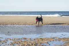 Black Labrador playing with ball on beach Royalty Free Stock Photos
