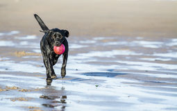Black Labrador playing with ball on beach. Black Labrador dog fetching a ball on the beach, running towards camera with copy space Royalty Free Stock Photos