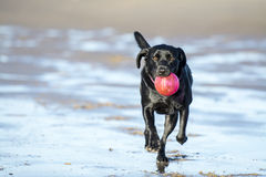 Black Labrador playing with ball on beach Royalty Free Stock Image