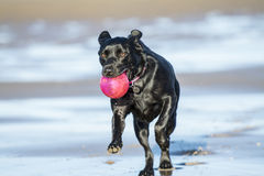 Black Labrador playing with ball on beach. Black Labrador dog fetching a ball on the beach, running towards camera with copy space Stock Images