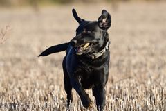 Black Labrador playing in a field royalty free stock images