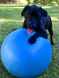 Black Labrador Playing With Swiss Ball royalty free stock photography