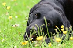 Black Labrador playng in a field. Low angle view of a cute black Labrador chewing a stone in a grassy field Stock Photo