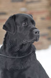 Black labrador portrait Royalty Free Stock Photos
