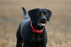 Black Labrador portrait. Close up of a cute black Labrador standing in a field Stock Images
