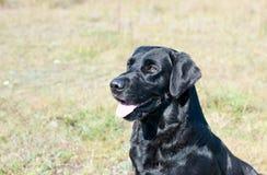 Black labrador portrait Stock Photo