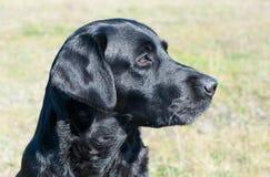 Black labrador portrait Royalty Free Stock Photography