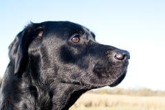 Black labrador portrait Stock Photos
