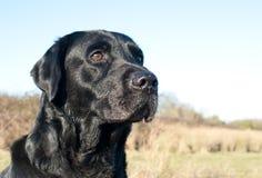 Black labrador portrait Stock Image