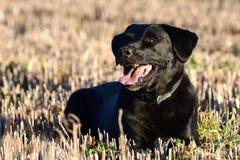 Black Labrador portrait. Head shot of a cute black Labrador sitting in a field Stock Photography