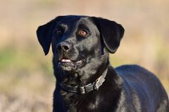 Black Labrador portrait. Head shot of a cute black Labrador standing in a field Royalty Free Stock Photos