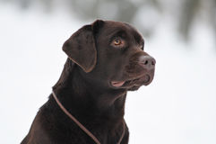 Black labrador portrait outdoor Royalty Free Stock Photography