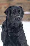 Black labrador portrait outdoor Stock Photography
