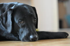 Black labrador posing. On the floor Stock Photos