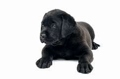 Black Labrador puppies Royalty Free Stock Images