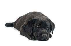 Black Labrador puppies Royalty Free Stock Image