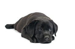 Black Labrador puppies Royalty Free Stock Image