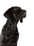 Black Labrador Puppy. Portrait of a 18 week old Black Labrador girl Stock Photos