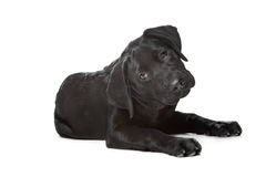 Black Labrador puppy. 14 weeks old, in front of a white background Stock Photos