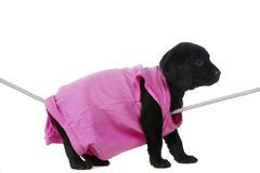 Black Labrador Puppy Royalty Free Stock Photography