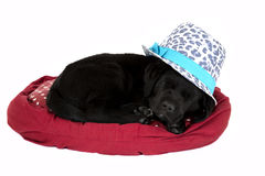 Black labrador puppy alseep wearing cute hat Stock Photography