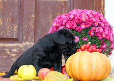 Black labrador puppy in autumn Royalty Free Stock Images