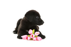 Black labrador puppy. Beautiful black labrador puppy with flowers  on a white Stock Photos