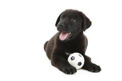Black labrador puppy Royalty Free Stock Photo