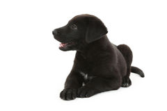 Black labrador puppy Royalty Free Stock Photography