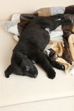 Black labrador puppy Royalty Free Stock Image