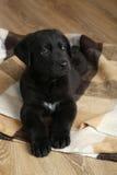 Black labrador puppy Royalty Free Stock Photos