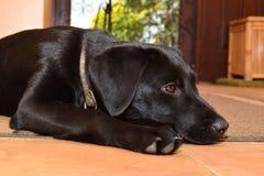 Black labrador puppy behaving itself for once Stock Photos