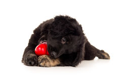 Black labrador puppy biting a red toy Royalty Free Stock Images