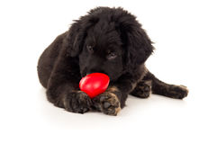 Black labrador puppy biting toy Royalty Free Stock Images