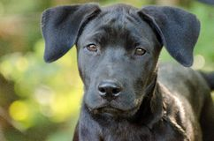 Black Labrador Puppy Bokeh. Black Lab puppy outdoor bokeh animal shelter adoption photo royalty free stock photos