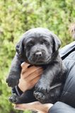 Black Labrador puppy Royalty Free Stock Photo