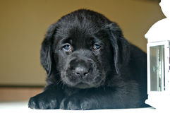 Black labrador puppy Stock Photos